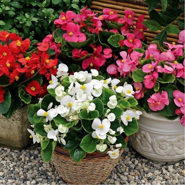 Бегония Бада Бинг F1 | Begonia semperflorens Bada Bing F1 syngenta flowers, Фасовка - Микс - 200 семян