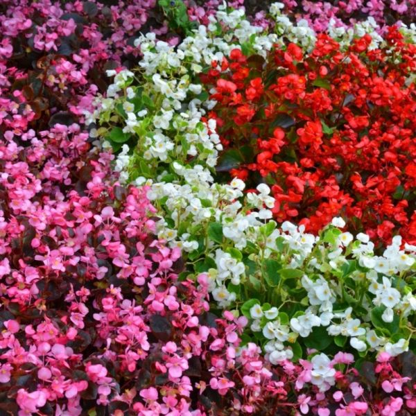 Бегония Бада Бум F1 | Begonia semperflorens Bada Boom F1 syngenta flowers, Фасовка - Микс - 200 семян