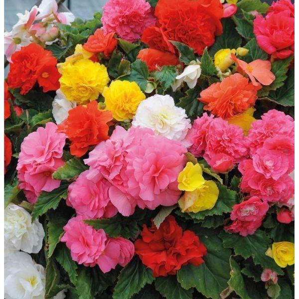 Бегония Тубероза Гоу-Гоу F1 | Begonia tuberosa Gо-Gо F1 Syngenta, Фасовка - Микс - 100 семян