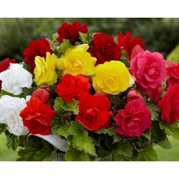 Бегония клубневая Лимитлесс | Begonia tuberhybrida Limitless, Фасовка - Смесь - 100 семян