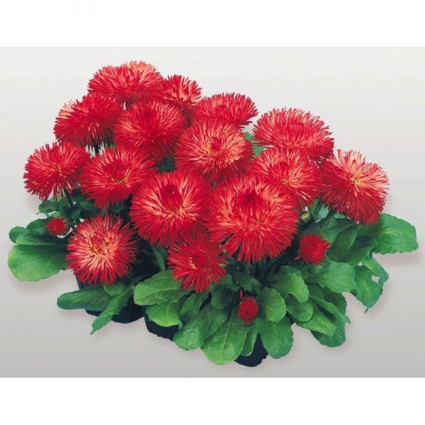 Маргаритка Хабанера | Bellis perennis Habanera Benary flowers, Фасовка - Красная - 250 драже