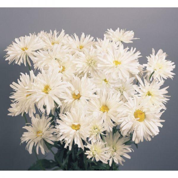 Ромашка махровая Крейзи Дейзи | Leucanthemum superbum Crazy Daisy Benary, Фасовка - 30 шт